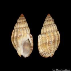 Nassariidae - Nassarius louisi, Pallary, 1912