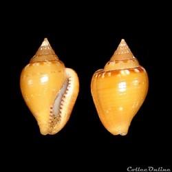 Columbellidae - Columbella rustica (Linn...