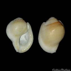 Bursidae - Aspa margineta (Gmelin, 1791)