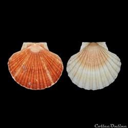 Pectinidae - Pecten maximus, Linné, 1758