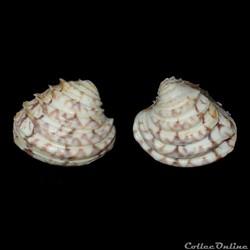 Veneridae - Lirophora paphia (Linné, 1767)