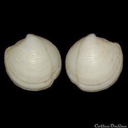Lucinidae - Lucina pensylvanica (Linné, ...