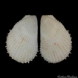 Limidae - Lima lima, Linné, 1758