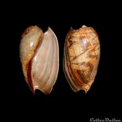 Afrique de l'Ouest / Gastéropodes