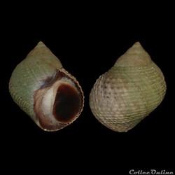 Littorinidae - Tectarius striatus (King,...