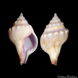 Buccinidae - Afer lansbergisi (Delsaerdt, 1993)