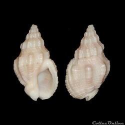 Buccinidae - Engoniophos unicinctus (Say...