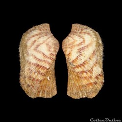 Arcidae - Arca bouvieri (Fischer, 1874)
