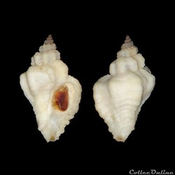 "Muricidae - Ocenebra erinacea ""alba"", Linné, 1758"