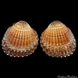 Cardiidae - Acanthocardia tuberculata (Linné, 1758)