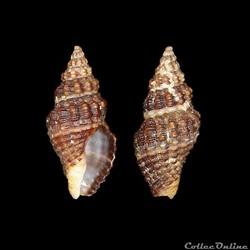 Buccinidae - Aplus dorbignyi (Payraudeau...
