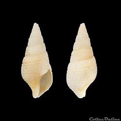 Clavatulidae - Clavatula milleti (Petit ...