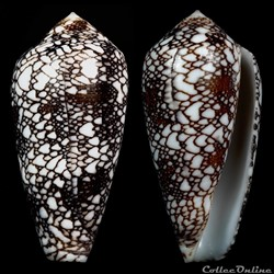 Darioconus pennaceus spp 4