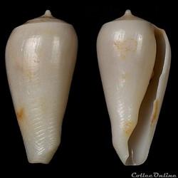 Gastridium sp.