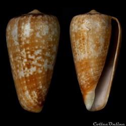Textilia chiapponorum (Lorenz, 2004)