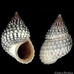 Cenchritis muricatus (Linnaeus, 1758)