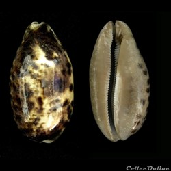 Chelycypraea testudinaria (Linnaeus, 175...