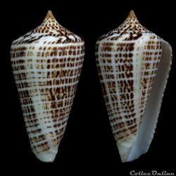Lindaconus lorenzianus (Dillwyn, 1817)