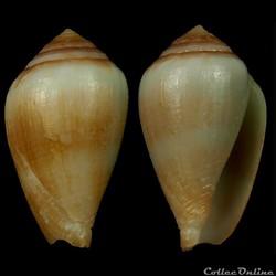 Californiconus californicus (Reeve, 1844...