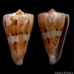Dauciconus (Dauciconus) vikingorum (Petu...