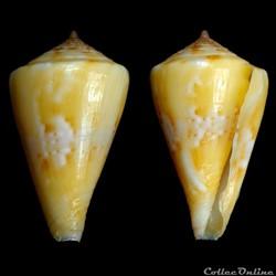 Boucheticonus dayri  (Röckel & da Motta,...