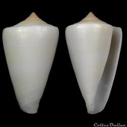 Lividoconus quercinus akabensis (Sowerby III, 1887)