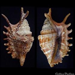 Ophioglossolambis digitata (Perry, 1811)