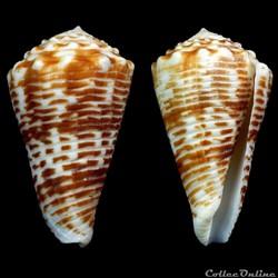 Asprella sulcocastanea (Kosuge, 1981)