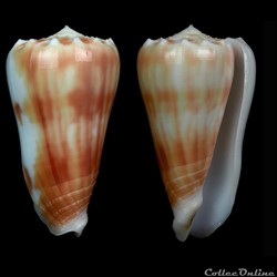 Phasmoconus (Fulgiconus) aff. stainforth...