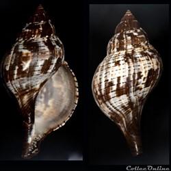 Fasciolaria tulipa (Linnaeus, 1758)