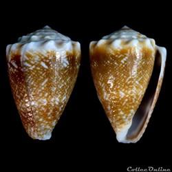 Virroconus (Miliariconus) fulgetrum (Sow...