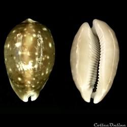 Lyncina camelopardalis (Perry, 1811)