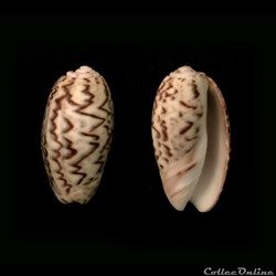 Oliva (Carmione) bulbosa f. undata, (Lam...