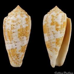 Pionoconus arafurensis Monnier, Limpalalaer & Robin 2013