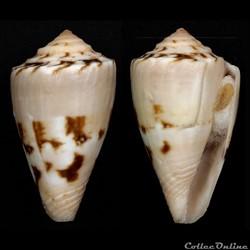 Dauciconus (Purpuriconus) brasiliensis (Clench, 1942)