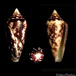 Ximeniconus (Ximeniconus) mahogani (Reev...