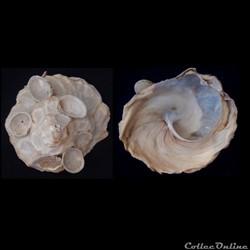 Xenophora pallidula (Reeve, 1842)