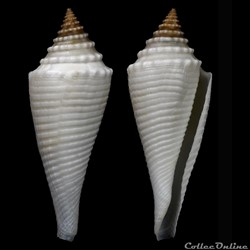 Fusiconus (Bathyconus) coriolisi (Moolenbeek & Richard, 1995)
