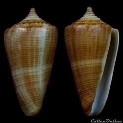 Calibanus (Calibanus) lignarius (Reeve, ...
