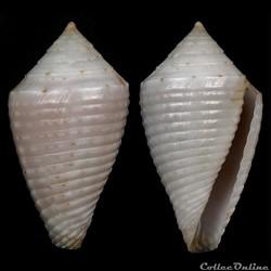 Ximeniconus (Jaspidiconus) masinoi Petuc...
