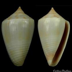Austroconus cyanostoma (A. Adams, 1853)