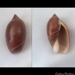 Oliva (Strephona) peruviana castanea (f)...