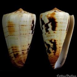 Strategoconus (Vituliconus) ferrugineus f. chenui (Weinkauff, 1873)