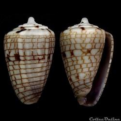 Quasiconus melvilli (Sowerby III, 1879)