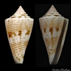 Kioconus (Nitidoconus) ruthae Monnier & Limpalaër, 2013