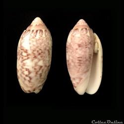 Oliva annulata (Gmelin, 1791)
