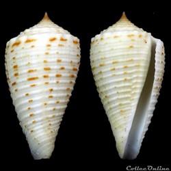 Asprella samiae (da Motta, 1982)