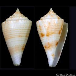Boucheticonus grohi (Tenorio & Poppe, 20...