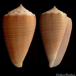 Asprella cf. sulcata (Hwass in Bruguière...