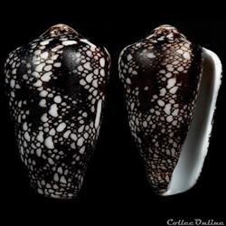 Darioconus pennaceus  quasimagnificus (da Motta, 1982)